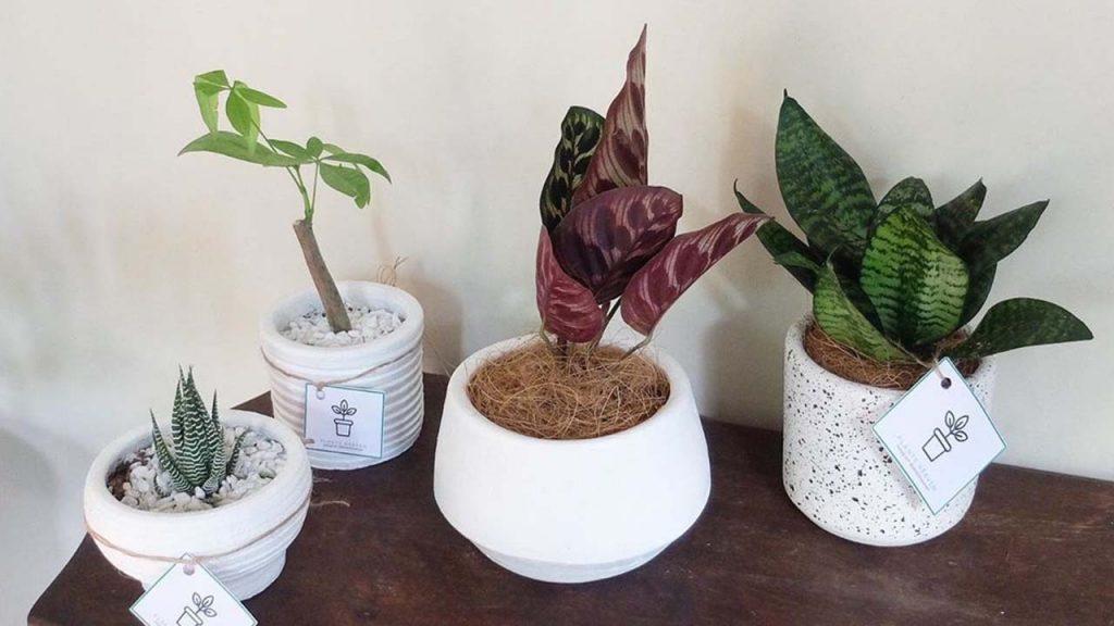 where to buy indoor plants online in manila plants heaven ph. Black Bedroom Furniture Sets. Home Design Ideas
